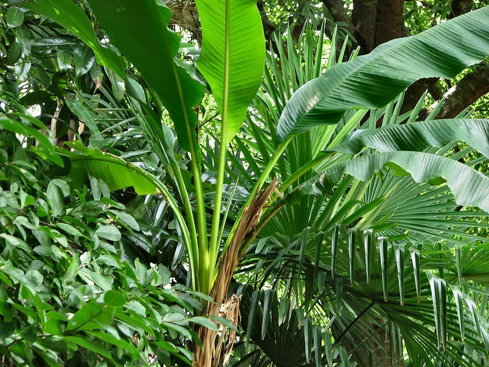 free stock photos tropical plants 191. Black Bedroom Furniture Sets. Home Design Ideas
