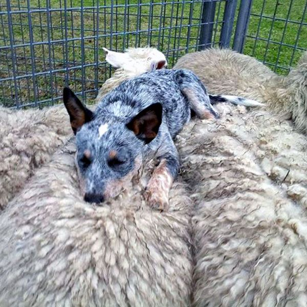 Photos Of Blue Heeler Puppies Yorkshire Mix Tiermarkt Tiere Kaufen Quoka De Babydog Instagram Photo And Vide In 2020 Austrailian Cattle Dog Cattle Dog Heeler Puppies