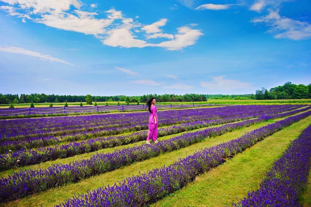 Island lavender, fragrant isle lavender farm, door county, Wisconsin