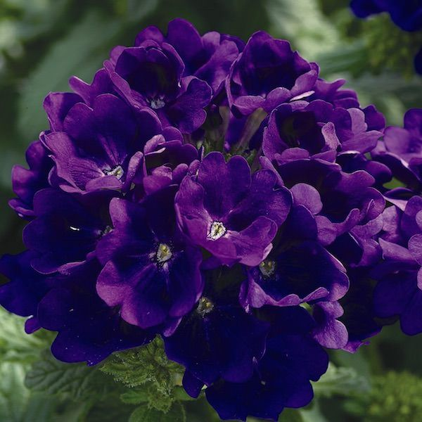 Verbena Tuscany Blue Annual Flower Seeds Annual Flowers