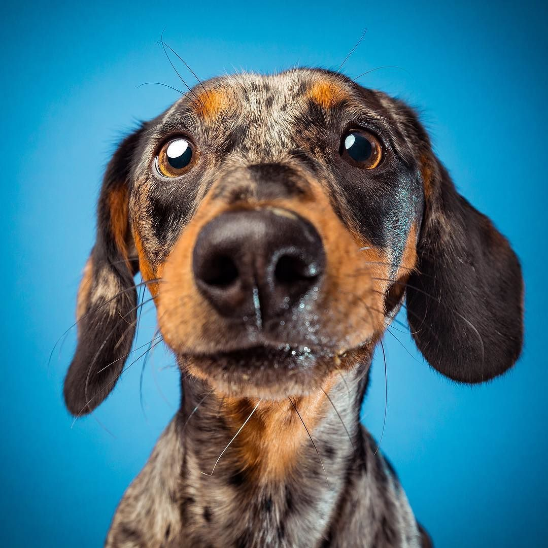 Pin by Jenn Zieska on Dogs Animal photoshoot, Dachshund