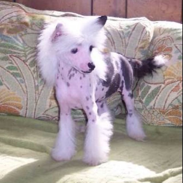 A Unicorn Horn On His Head Would Be Perfect Chinese Crested