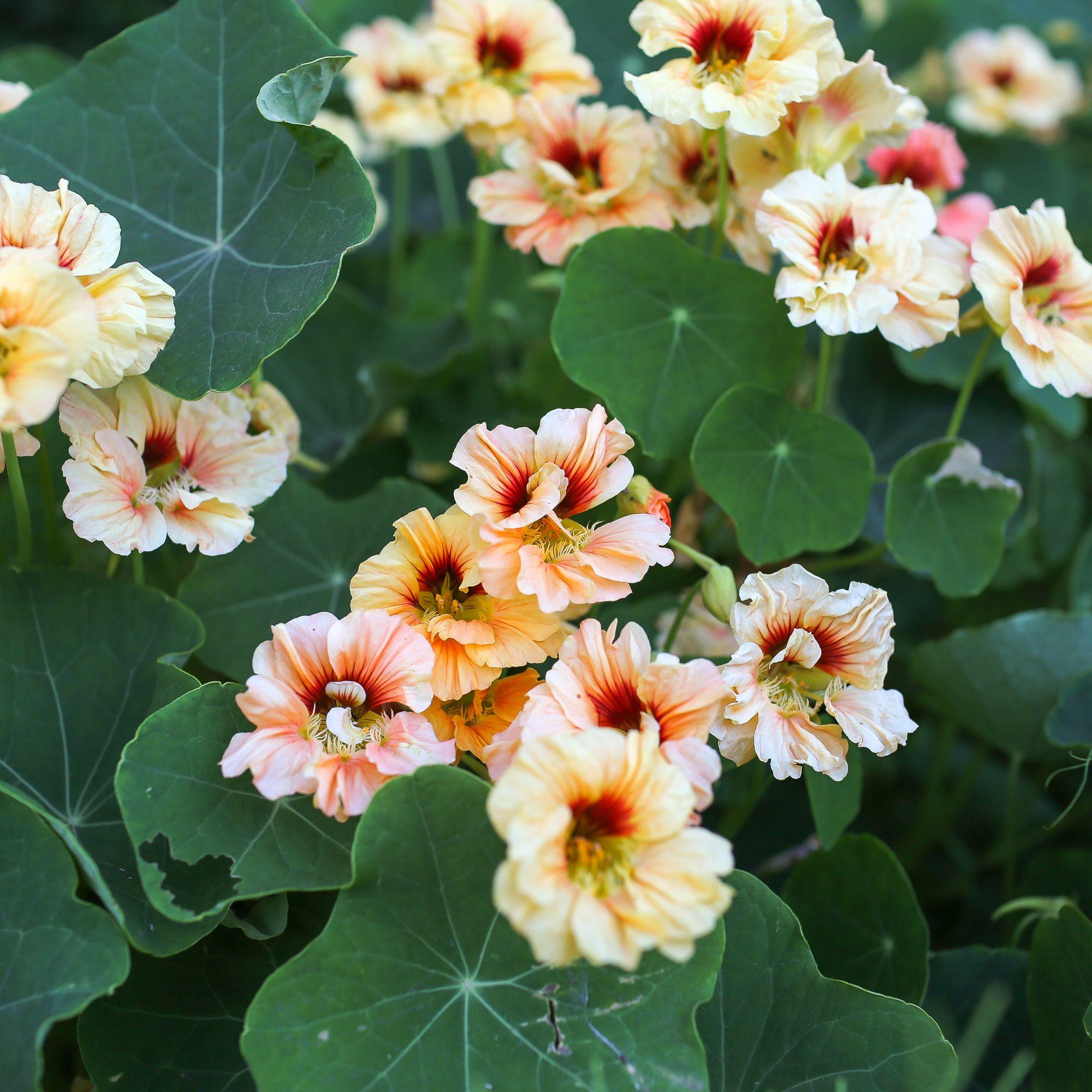 Buy culinary herbs plants nasturtium plants - Nasturtium Gleam Salmon Floret Flowers