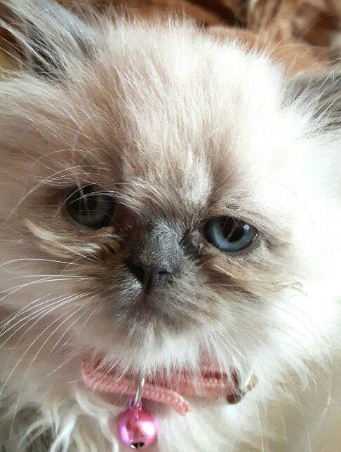 Blue Point Himalayan Kitten 8 Wks Old Mira Miracle Aka Giddy Gato Himalayan Kitten Kittens Angel Cat