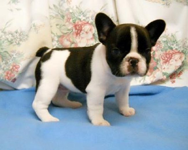 French Bulldog Puppies For Sale Oregon Zoe Fans Blog Bulldog