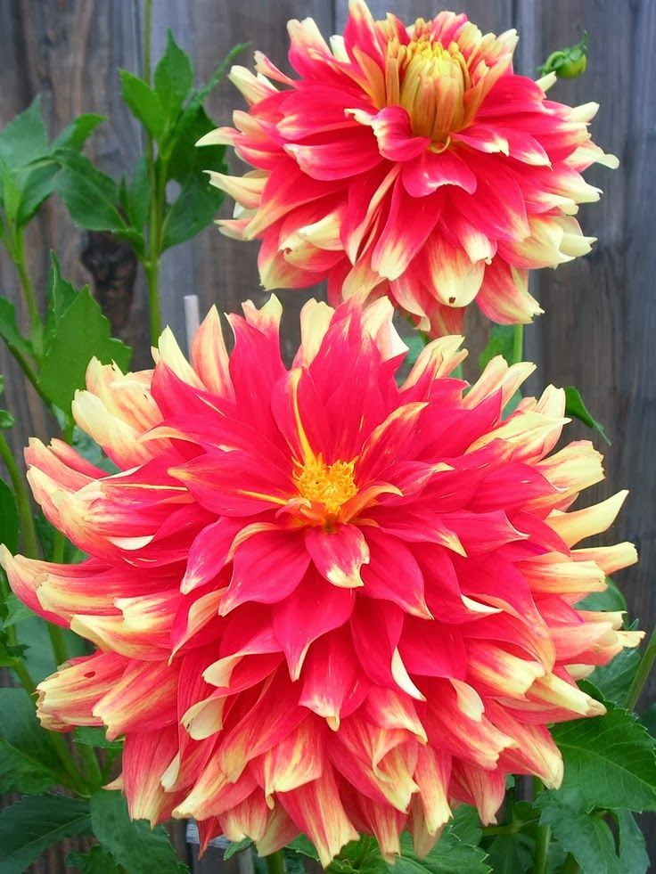 "Bodacious Dahlia: Huge 11"" blooms are a bright orange-red with yellow showing on the edges and underneath side of each petal, giving it the illusion of tongues of fire. Late bloomer, this bush has a height of 4 feet."