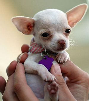 Will You Give Me A Treat Chihuahua Puppies Baby Chihuahua Cute