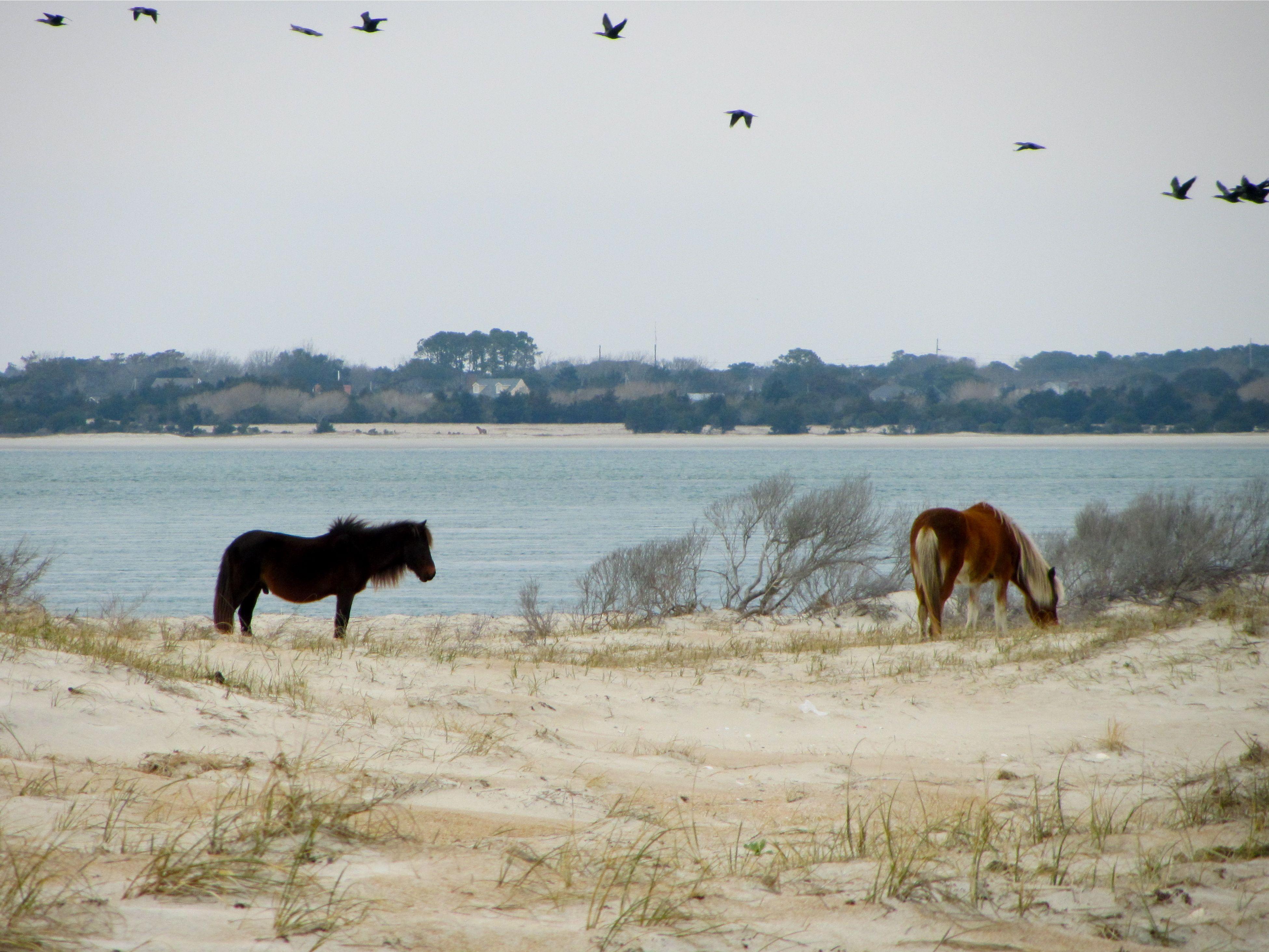 Horses on Shackleford