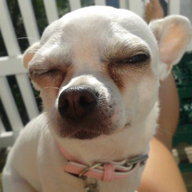 Everyone Is Guilty Until Proven Innocent Chihuahua Chihuahua