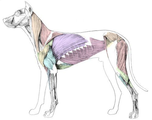 canine-muscles.jpeg (500×395) | ANATOMY_animals | Pinterest ...