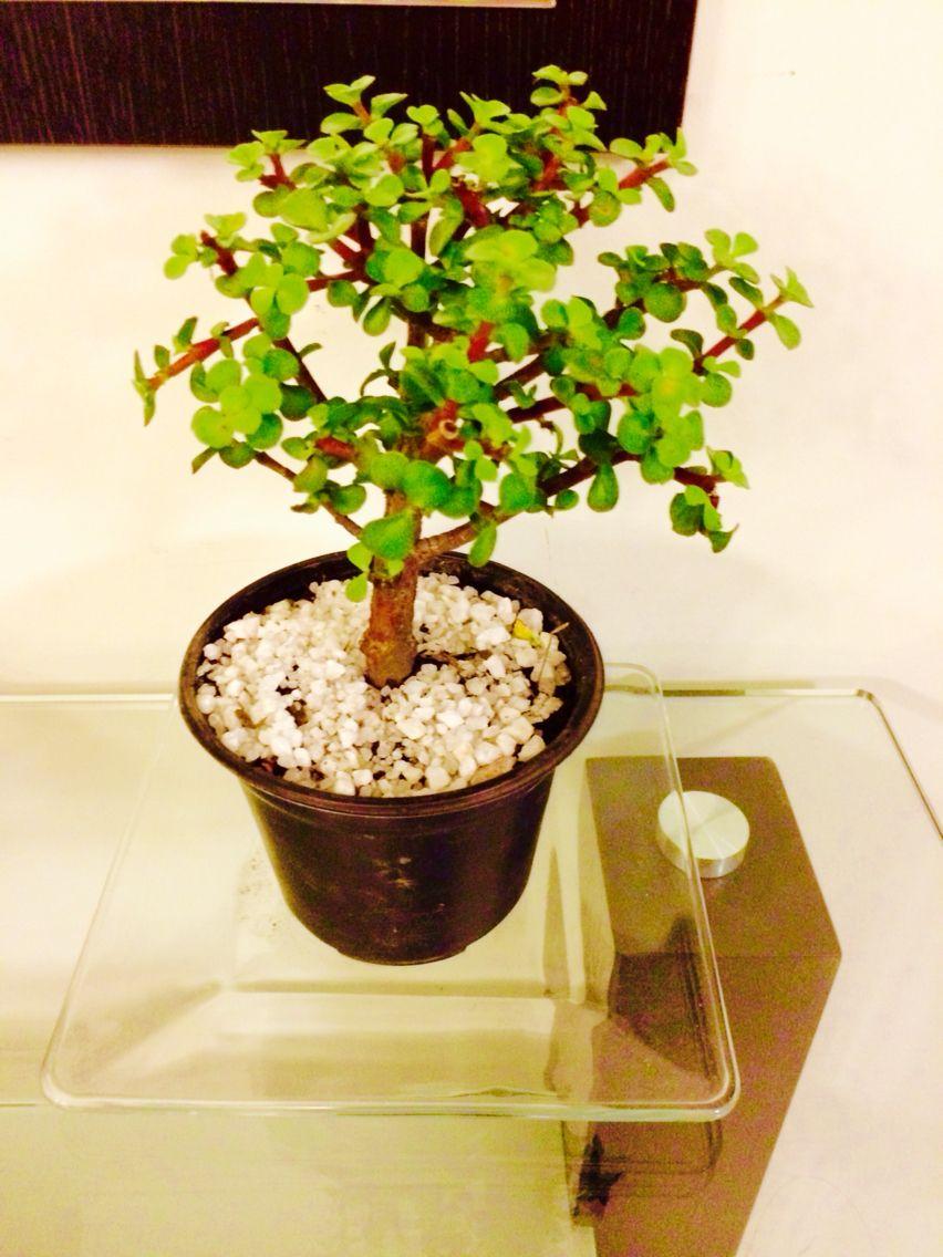 Árbol de la abundancia / oshikuru   arbol de la prosperidad y de la ...