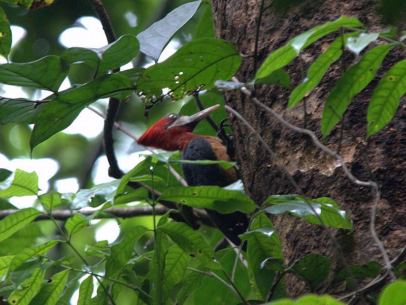 Red-necked Woodpecker Campephilus rubricollis - Google Search
