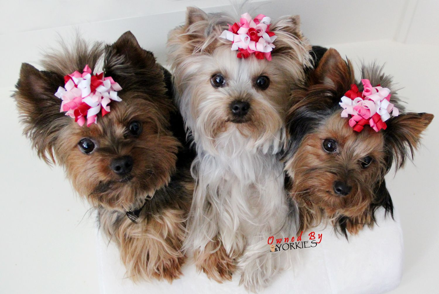 Hi y'all! (With images) Yorkie lovers, Yorkie, Cutest