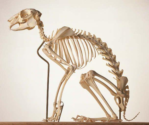 Afbeeldingsresultaat voor hare skeleton
