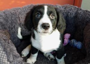 Twix The Borgi Puppy Is An Adoptable In Ocala Fl Border Collie