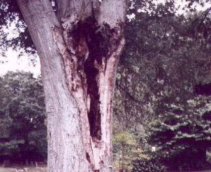 This photo shows what appears to be a man within the hollow of this tree. Is this an apparition, or just an optical illusion of the hollow?