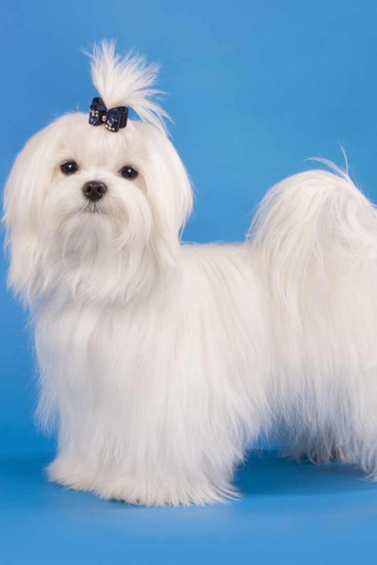The Little White Dog Of Breed Costs To Maltez In A Rack On A Blue Background Maltese In 2020 Maltese Dogs White Dogs