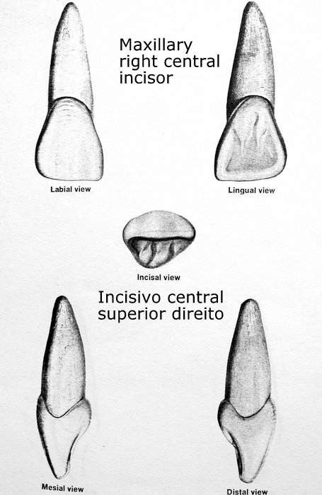 Tooth 1.1 (maxillary right central incisor). Incisivo Central ...