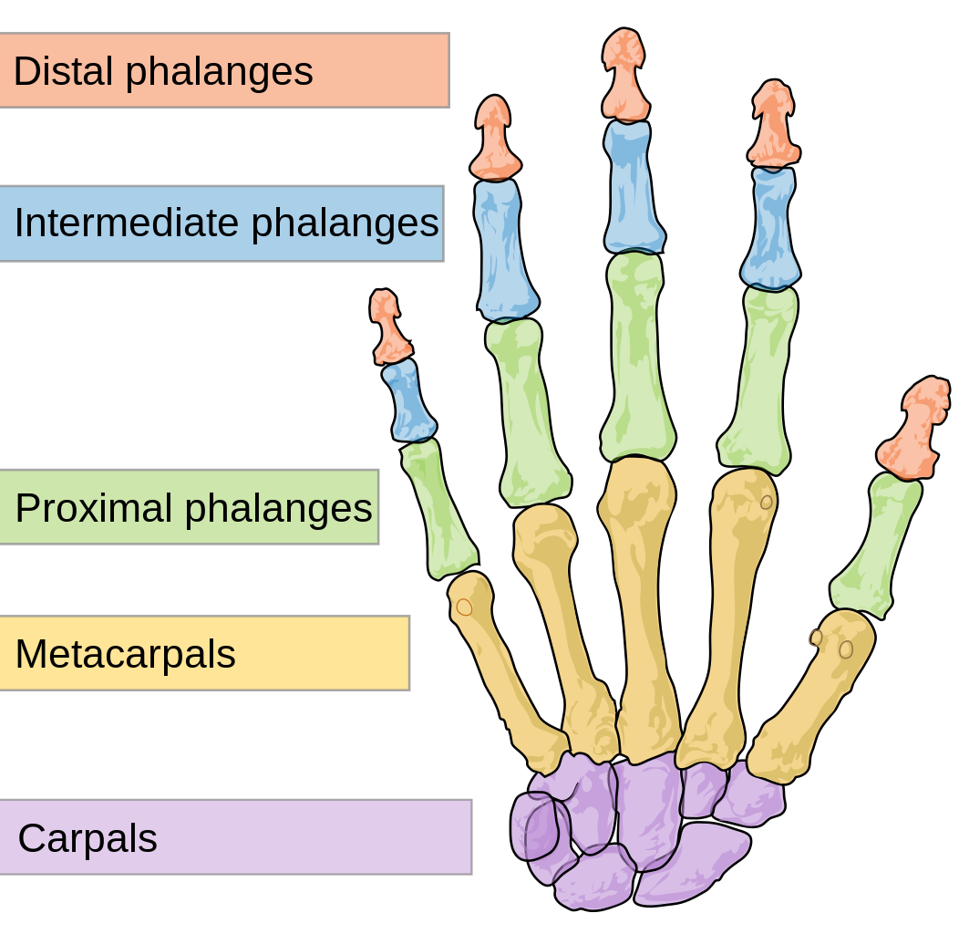 Upper limb - Wikipedia, the free encyclopedia   ANATOMY   Pinterest