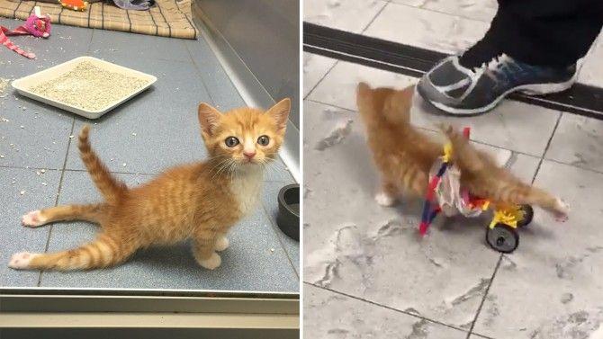 Paralyzed Kitten Speeds Around The Hospital Using Lego Wheelchair Kittens Lego Wheelchair