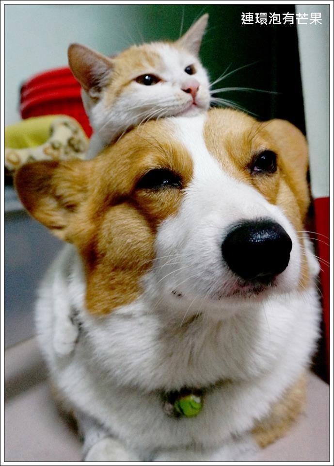 Pin By Daily Corgi On Corgis N Cats Corgi Corgi Dog