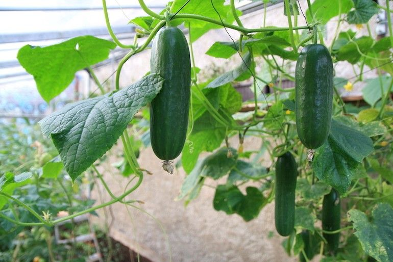 how far apart to plant tomatoes and cucumbers