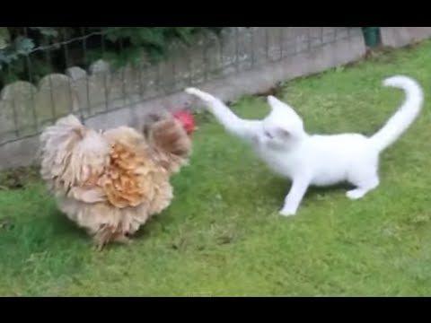 Gallina Y Gato En Divertida Pelea Pelea De Perros Perro Bailando Gallinas