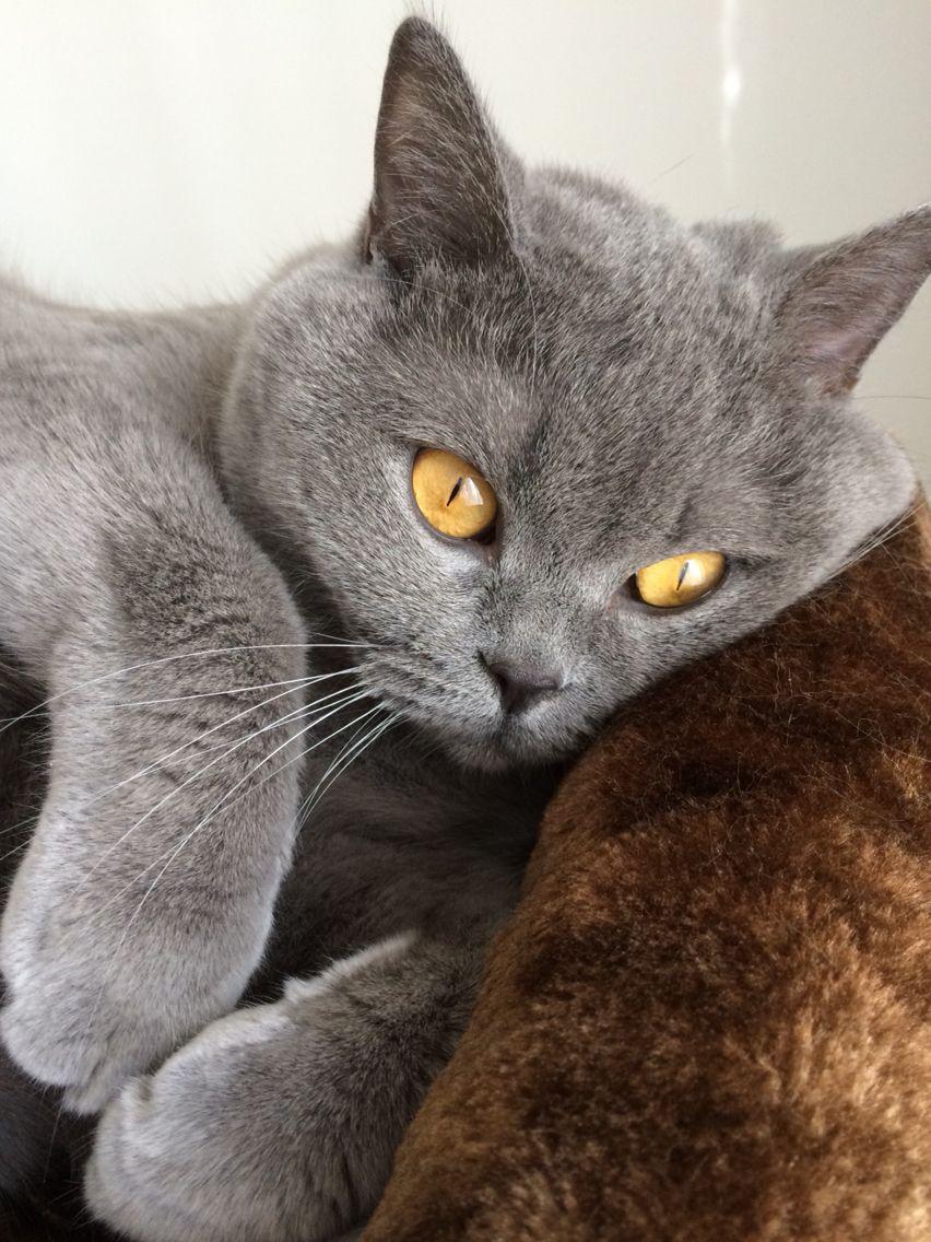 Eogan British Shorthair Cats And Kittens Grey Cats Beautiful Cats