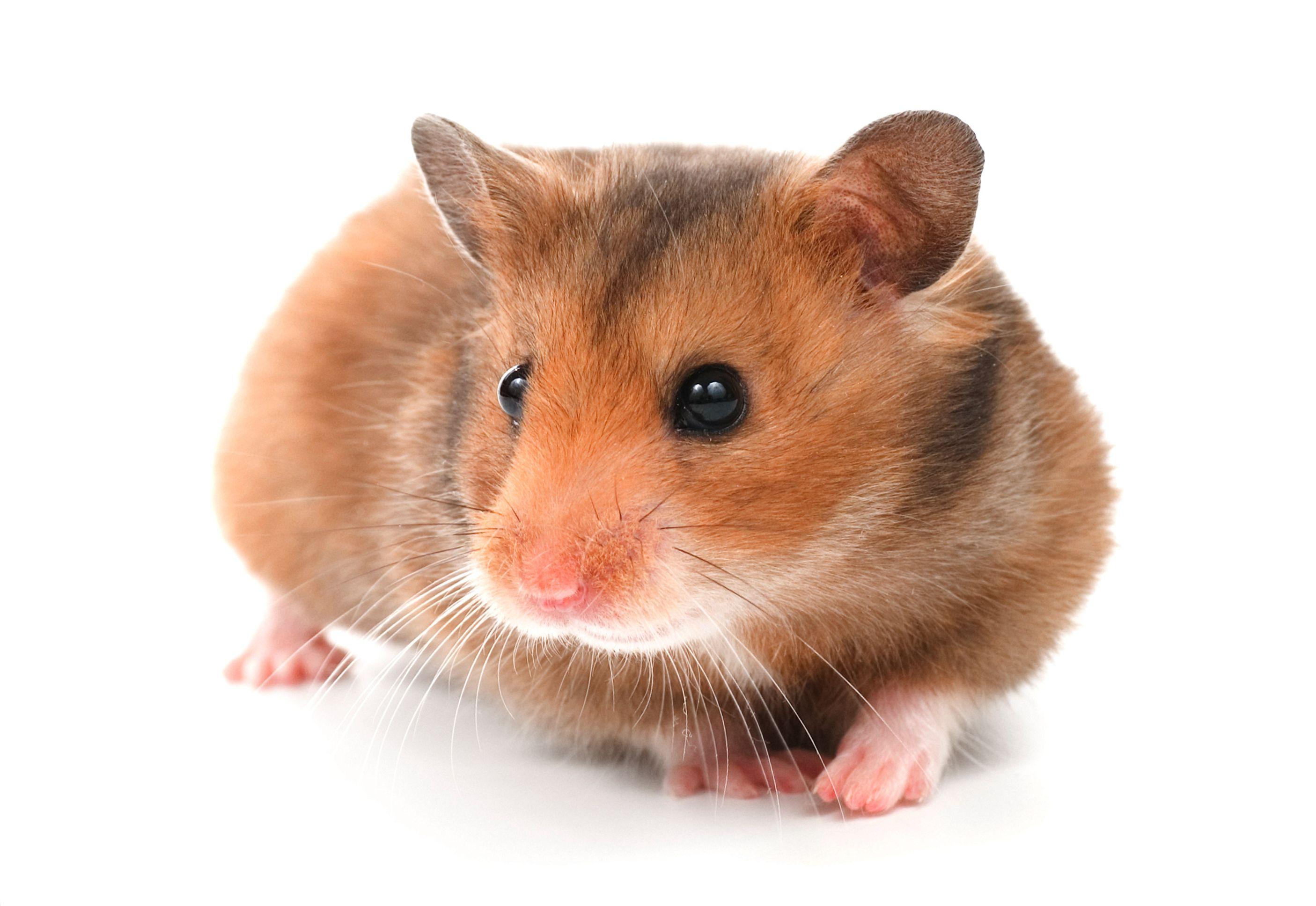 Hamster Breeds Types of Hamsters Bear hamster, Hamster
