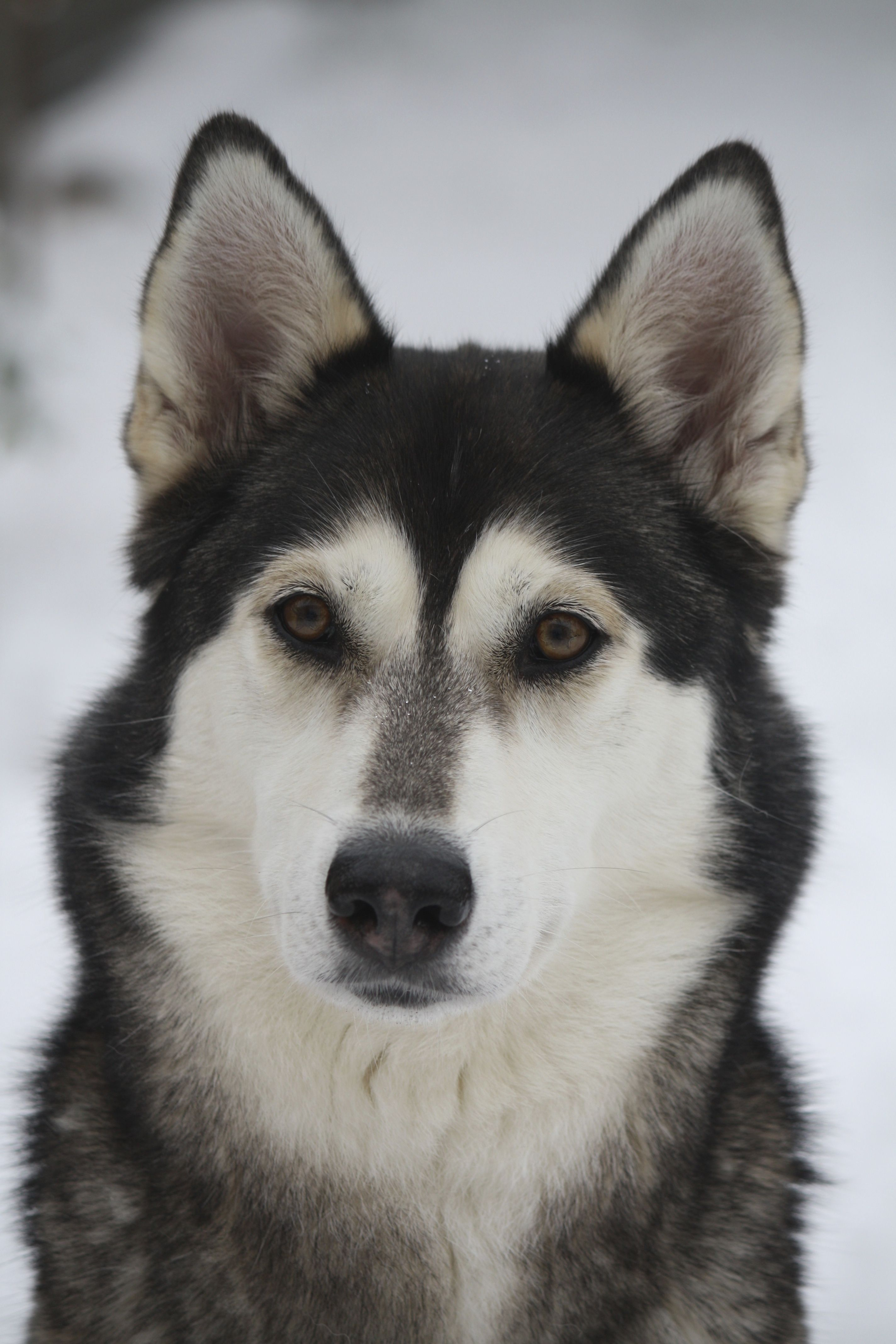 Lupa My Best Friend Siberian Husky Siberian Husky Dog Husky
