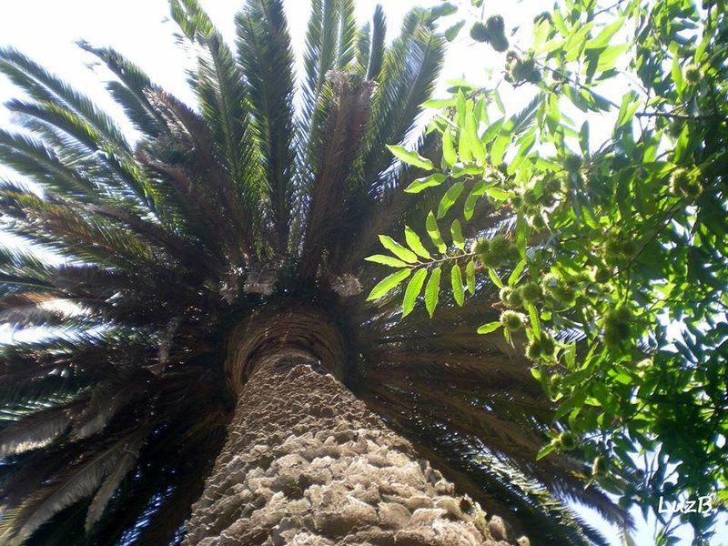 Palmeira - arvores