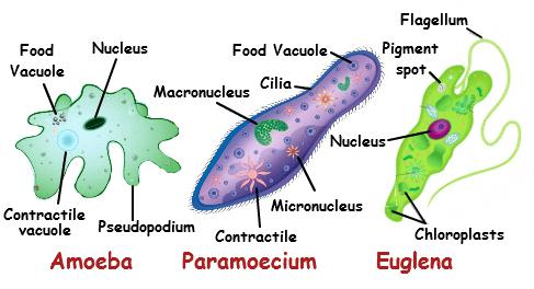 unicellular plants
