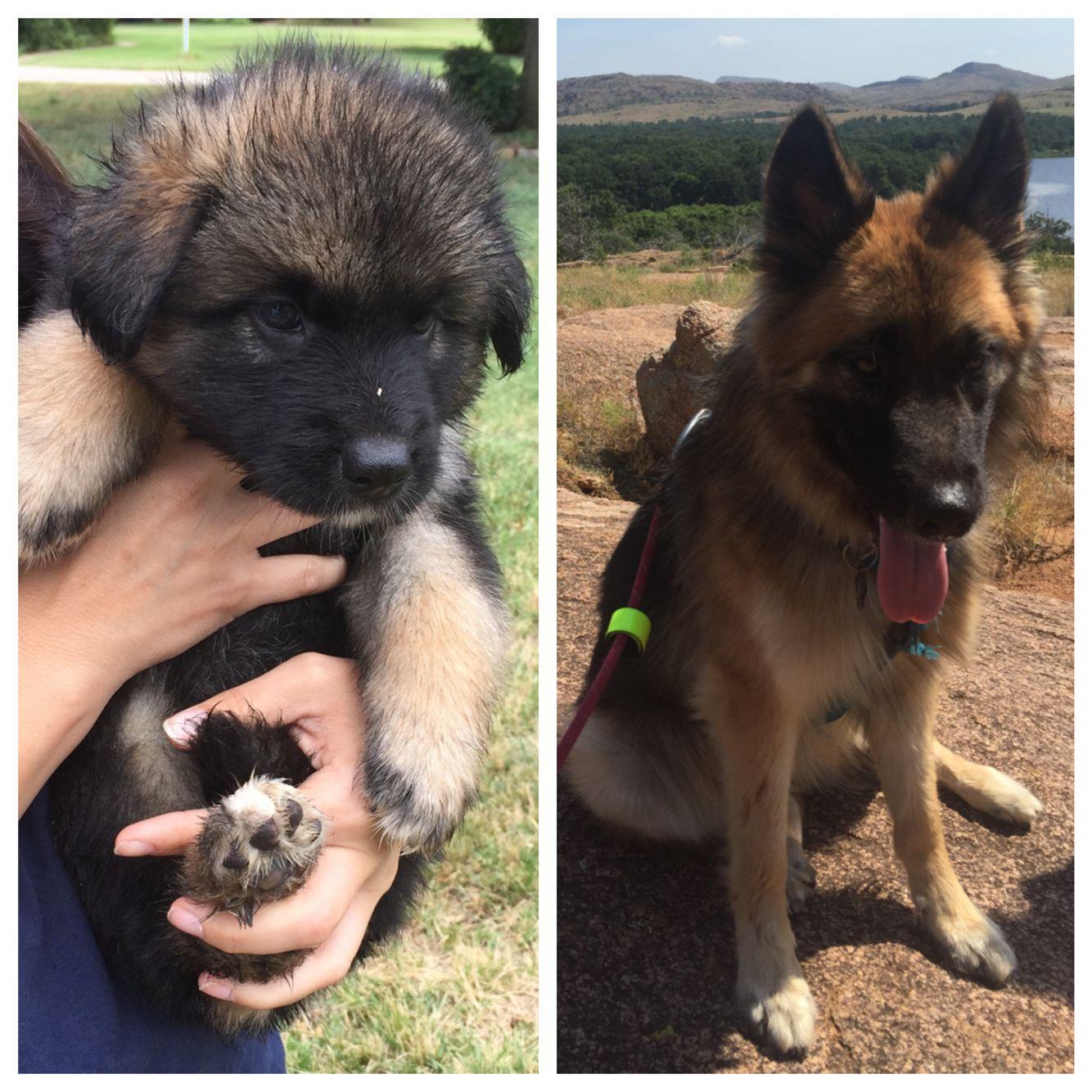 Bruno German Shepherd Siberian Husky Mix 6 Weeks Old To 1 Year