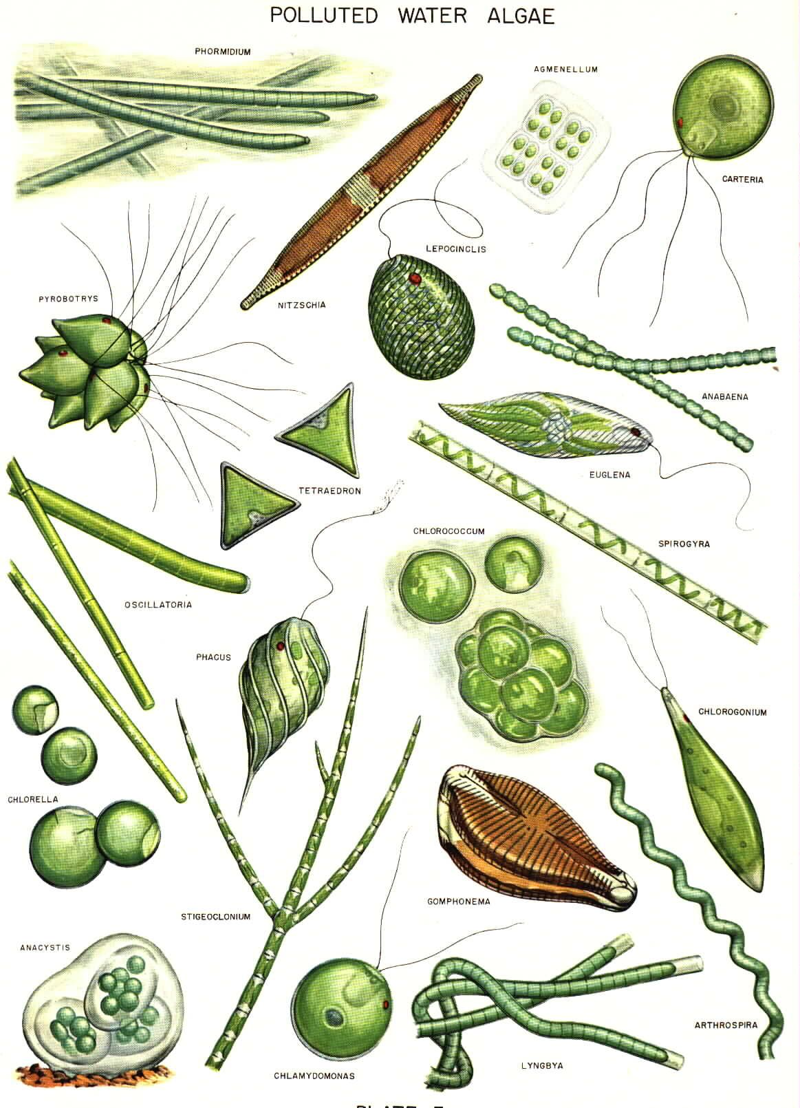 common algae drawings plankton pinterest science