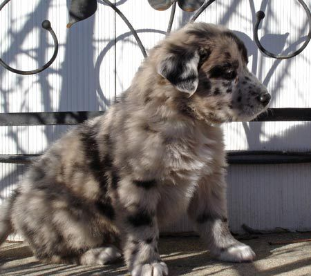 Australian Shepherd Great Dane Mix One Of My Many Dream Dogs I