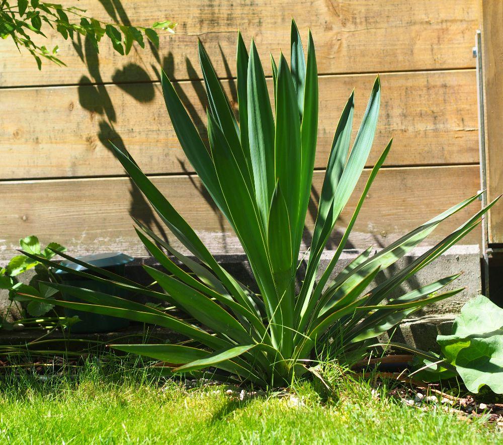 Yucca Gloriosa Palmlilie Yucca Gloriosa Und Garten