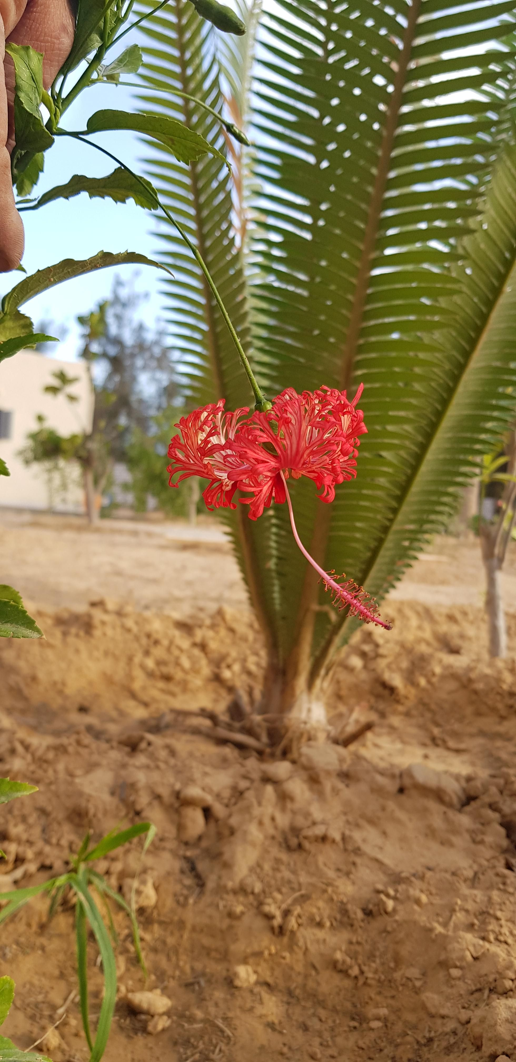 Japanese Hibiscus In Egypt Gardening Garden Diy Home Flowers