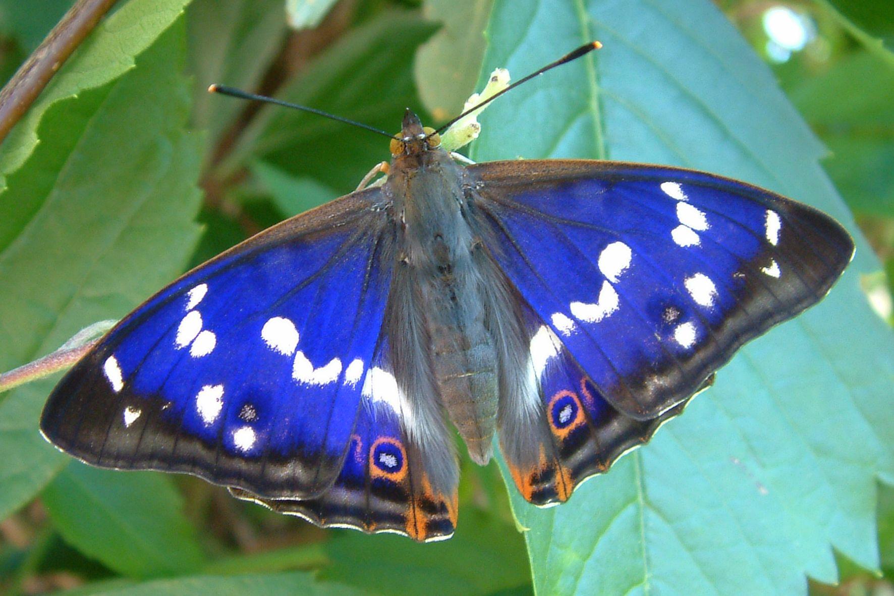 2011 Grosser Schillerfalter Schmetterling Tiere Ausgestopftes Tier