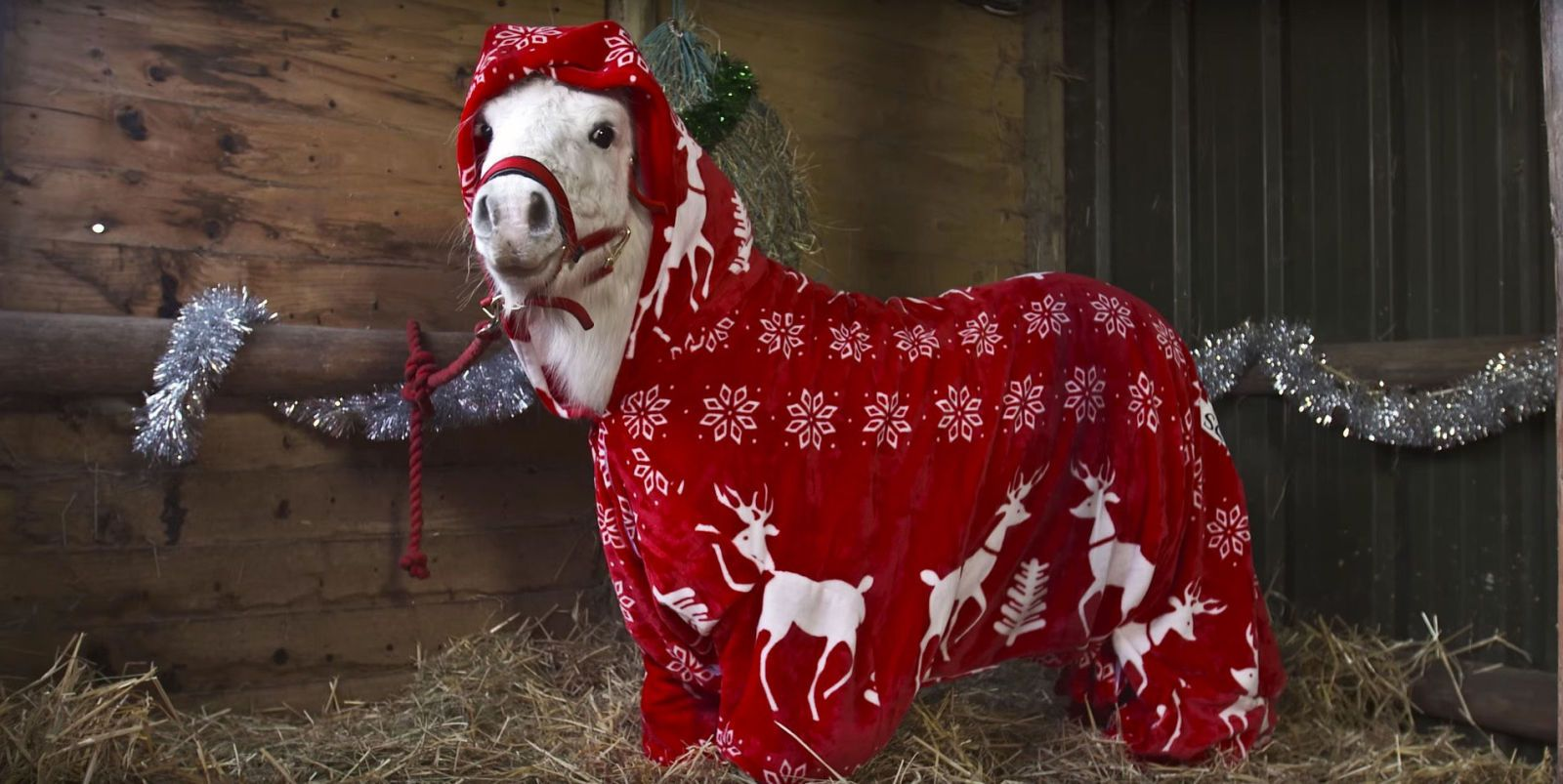 The Shetland Pony Putting ALL Christmas Onesies to Shame