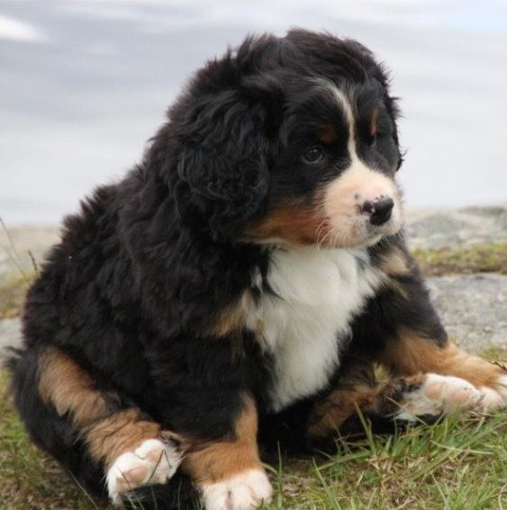 Download Bernese Mountain Dog Chubby Adorable Dog - f4fb601636607cf0d31bd70d2dfb5a70  Perfect Image Reference_949752  .jpg