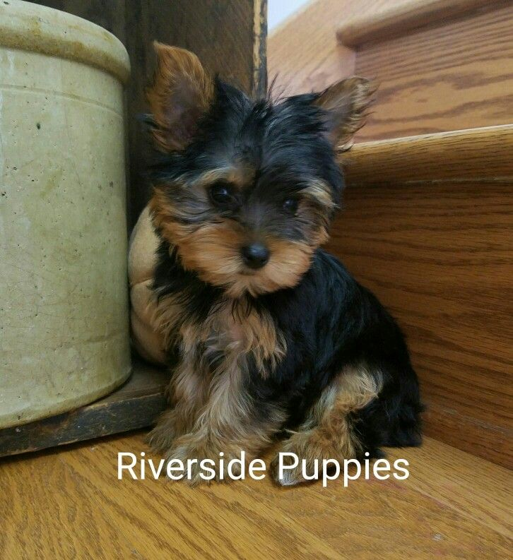 Yorkie Baby...from Riverside Puppies Puppies, Yorkie