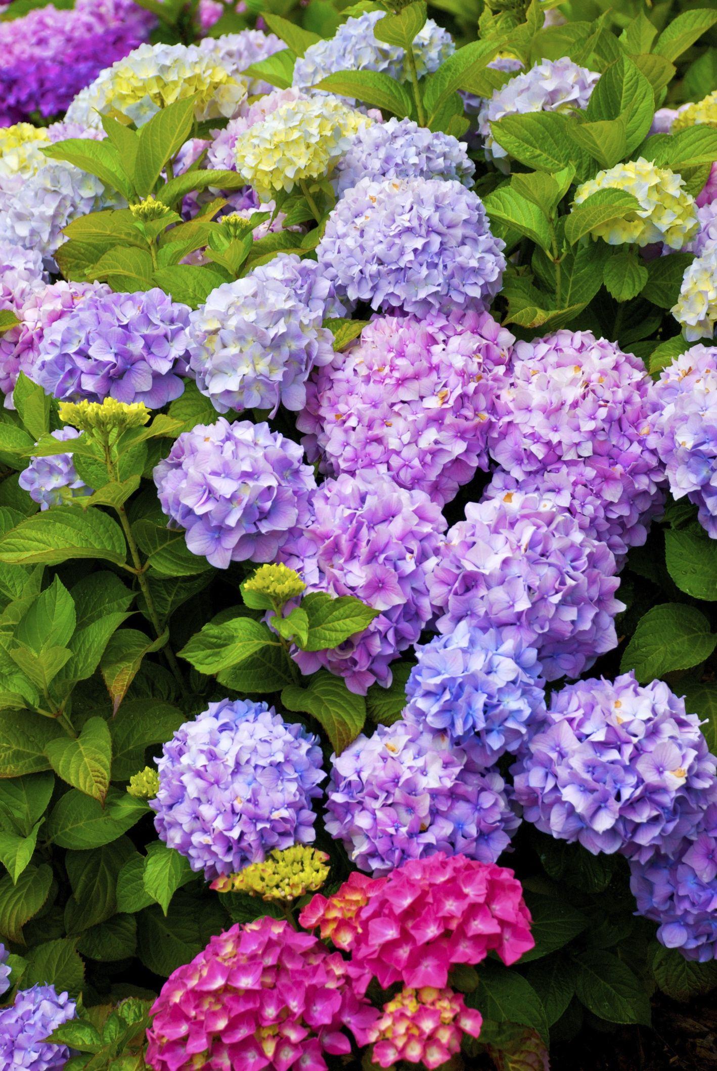 Ortensie Bianche Come Curarle come coltivare ortensia | giardino di ortensie, ortensie e