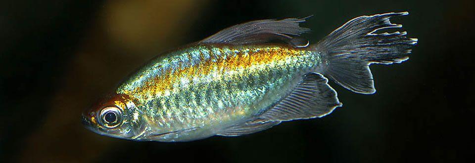 Livefish.com.au - Australia's aquarium fish home delivery ...