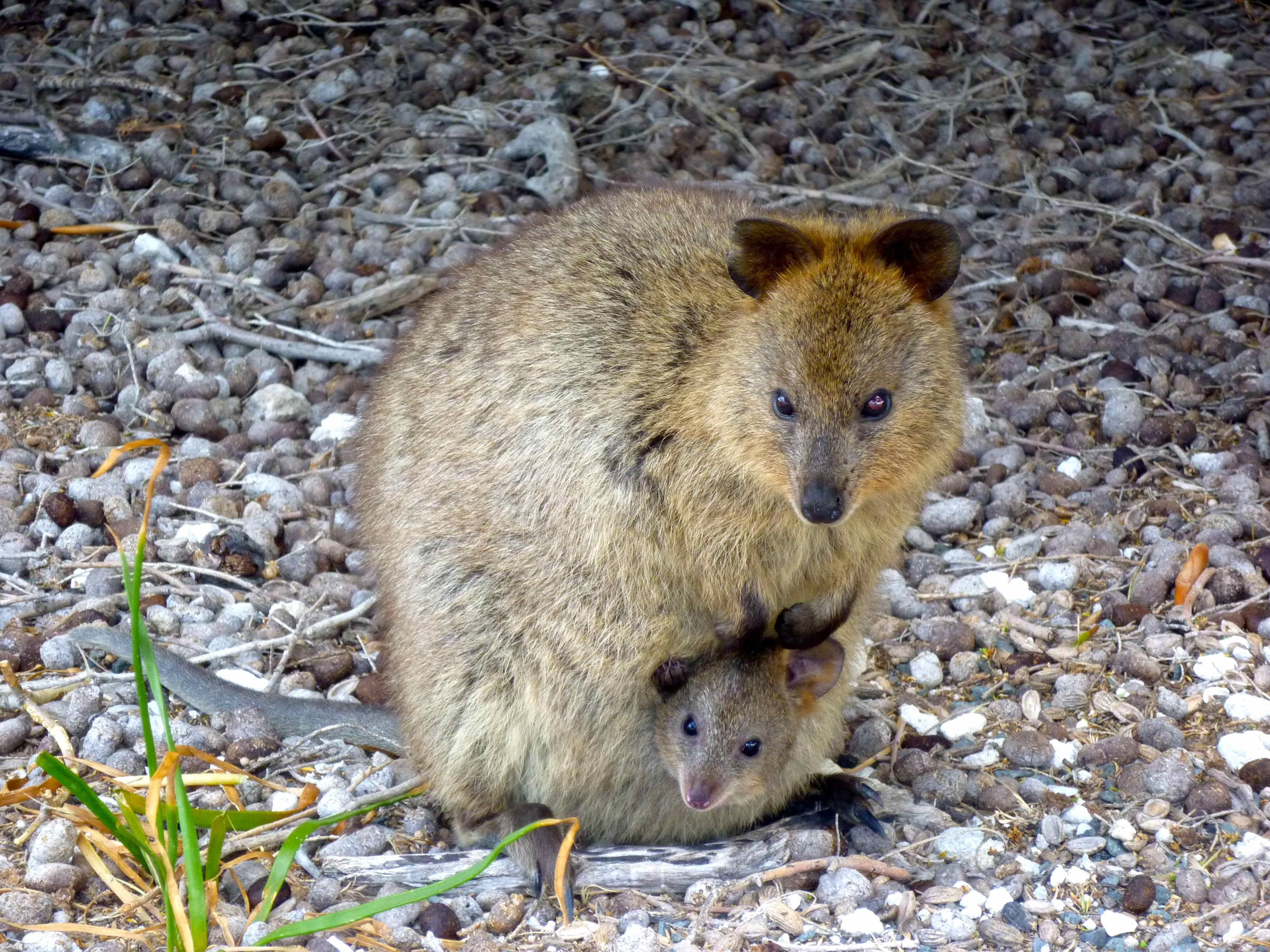 Mama quokka and her tiny baby. | Interesting & Odd Animals ...