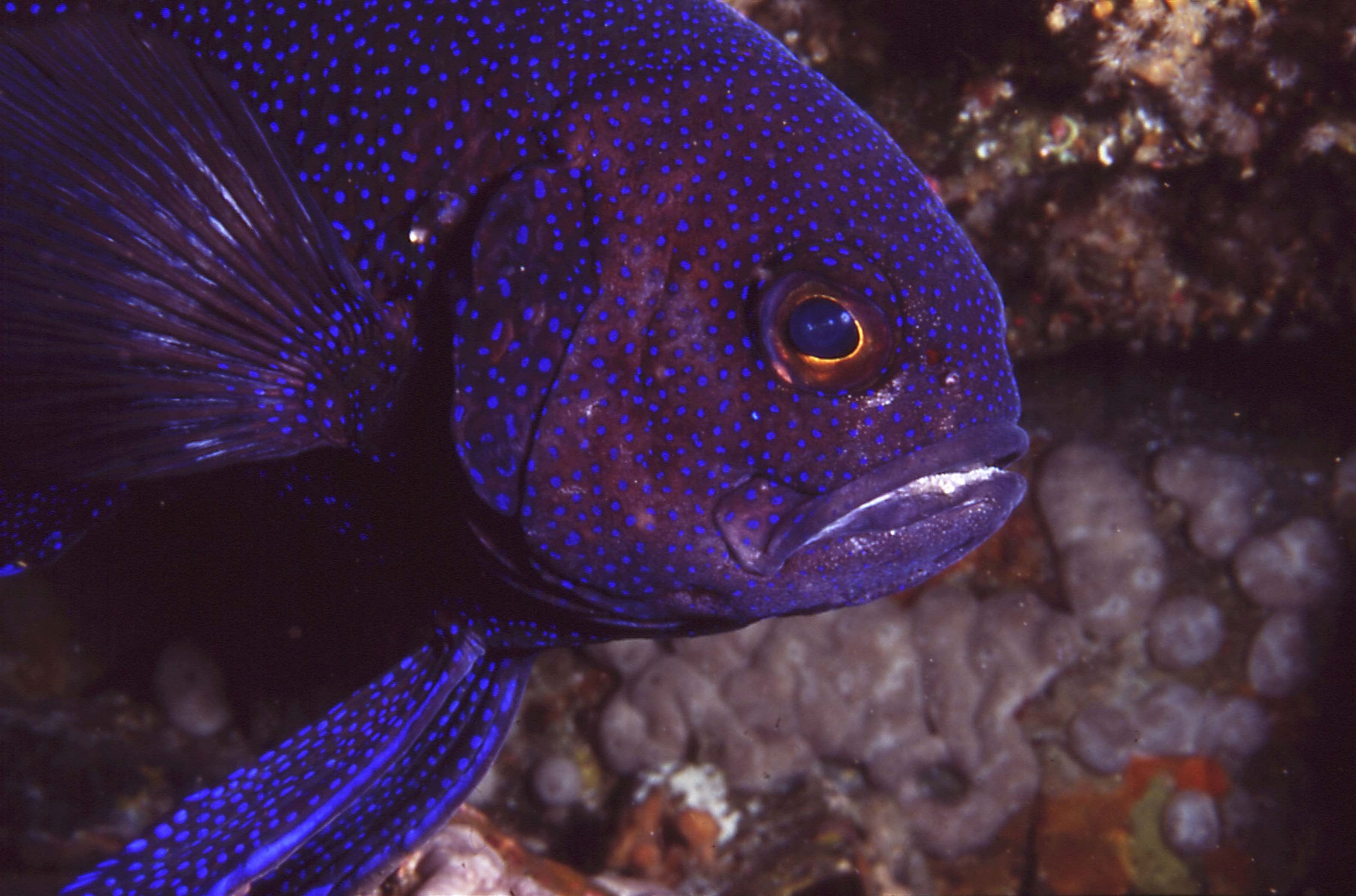 Sthn Blue Devil up close in ledge,nth cst KI SA  Underwater photographer:  David Muirhead