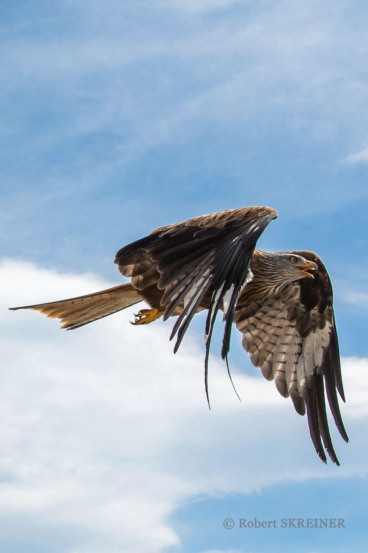 Red Kite  (Milvus milvus), wingspan 175 to 180 cm (69 to 70 in) - via Robert SKREINER's photo on Google+