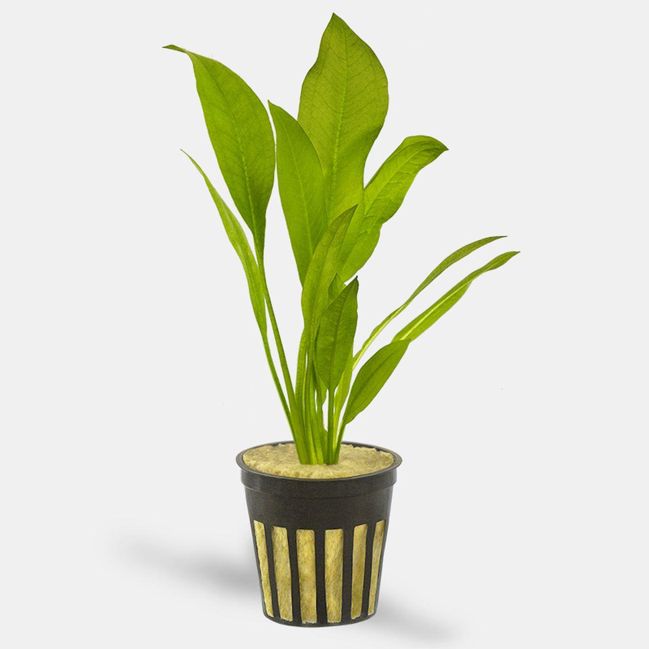 Amazon Sword Echinodorus Sp Potted Planted Aquarium Pot Plants