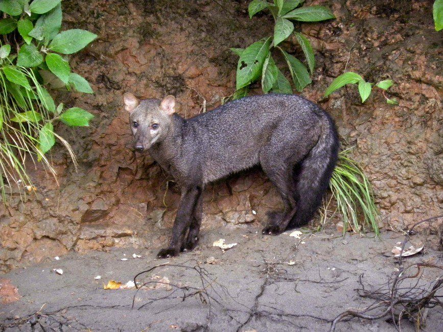 Shorteared Dog (Atelocynus microtis) (With images) Wild