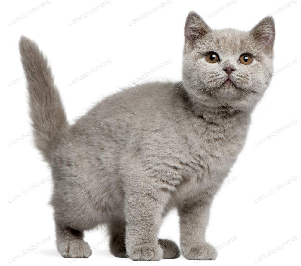 British Shorthair Kitten 3 Months Old In Front Of White