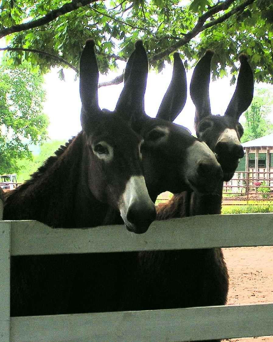 Mammoth Mules....love those Long Ears